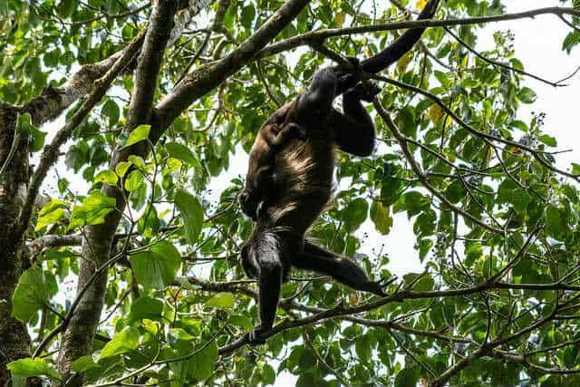 Monteverde Monkeys