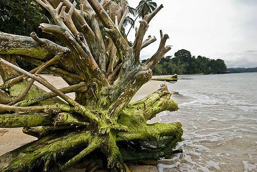 Punta Uva Beach Tree