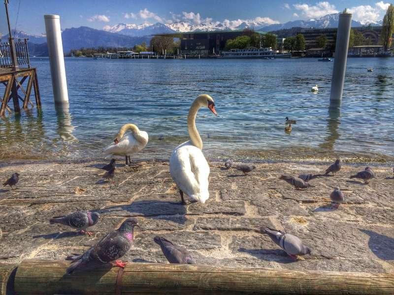 Lucerne Swans