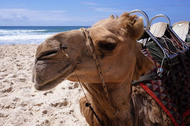 Camel Ride - Lighthouse Beach Port Macquarie