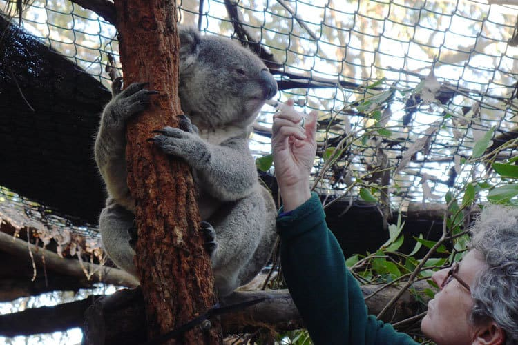 Feeding at Koala Hospital Port Macquarie