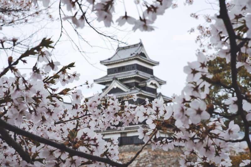 Matsumoto Blossoms