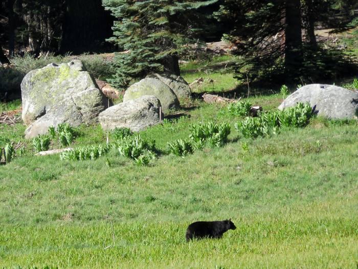 Sequoia NP Bear