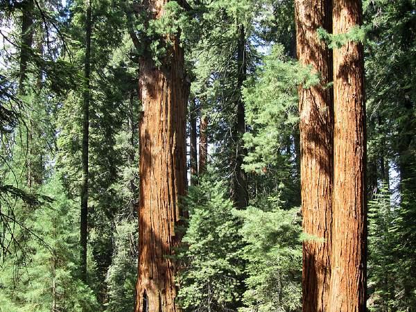Sequoia NP Trees