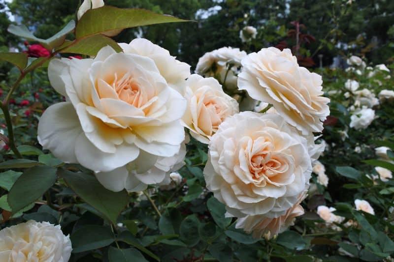 Rose Garden Osaka